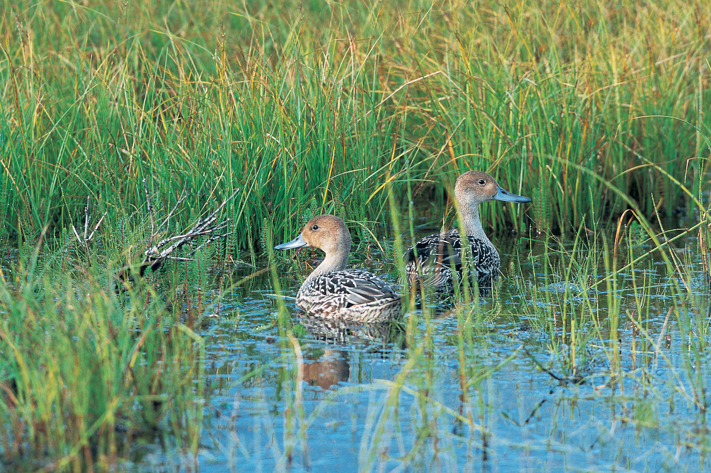 pintail-hens-DUC